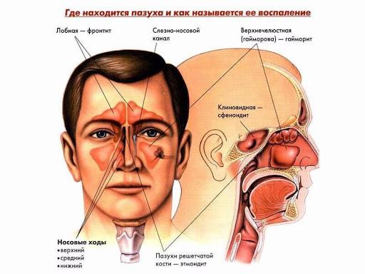 Анатомічні особливості навколоносових пазух
